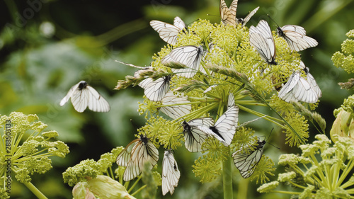 Photo A lot of Black Veined White butterflies, Aporia Crataegi sits on green flower