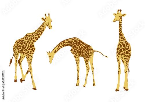 Fototapeta  set of giraffe, collection of natural animal wildlife, vector illustration