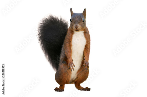 Spoed Foto op Canvas Eekhoorn Red squirrel (Sciurus vulgaris), isolated on white background