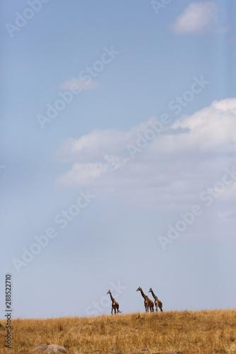 Giraffes in the Savannah grassland, Masai Mara, Kenya Wall mural