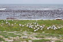 Ibis Sacrés Cap De Bonne Espérance - African Sacred Ibis Cape Of The Good Hope