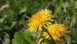 Leinwandbild Motiv Fleur de pissenlit dans une pelouse