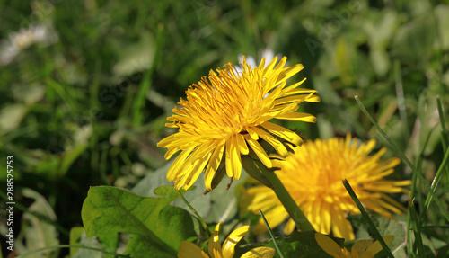 Foto auf Leinwand Texturen Fleur de pissenlit dans une pelouse