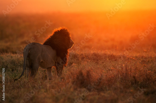 Foto op Canvas Leeuw The lion king in the morning hours in Masai Mara, Kenya
