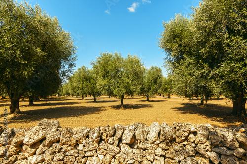 Carta da parati Olive plantation with old olive tree in the Apulia region, Italy