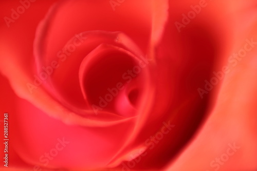 rose, blurry, ethereal, calm, soothing, garden
