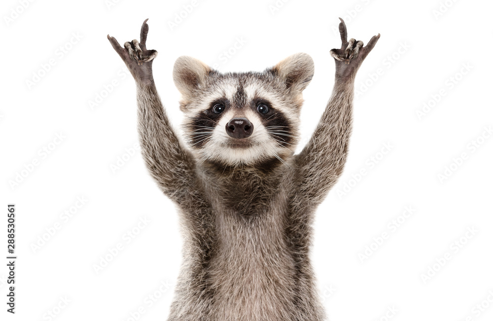 Fototapety, obrazy: Funny cute raccoon showing a rock gesture isolated on white background