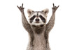 Funny cute raccoon showing a rock gesture isolated on white background