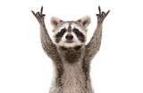 Fototapeta Zwierzęta - Funny cute raccoon showing a rock gesture isolated on white background