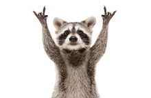 Funny Cute Raccoon Showing A R...