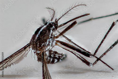 moustique tigre Aedes albopictus en focus stacking 7X Canvas Print