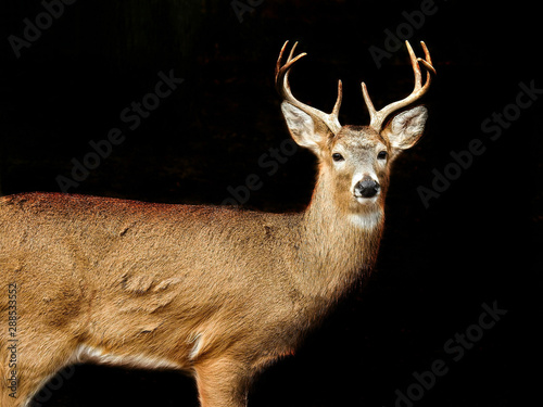 Photo sur Toile Cerf Male White Tailed Deer Looking On Black Background