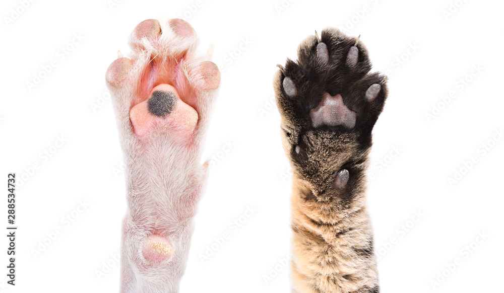 Fototapety, obrazy: Two paws of dog and cat together isolated on white background