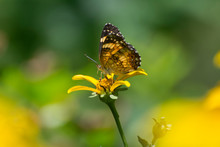 Butterfly 2019-100 / Silvery Checkerspot (Chlosyne Nycteis)