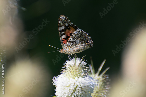 Butterfly 2019-103 / Painted Lady Vanessa cardui