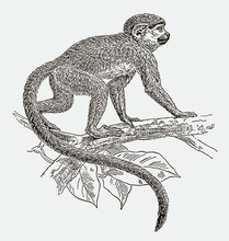 Squirrel Monkey, Saimiri Walking On A Branch. Illustration After An Engraving From The 19th Century