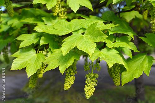 Photo Maple false (Acer pseudoplatanus L