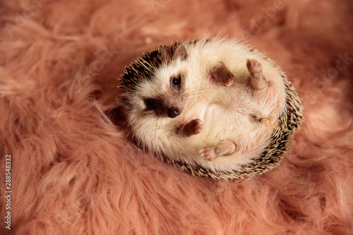 Obraz na plátne  hedgehog playfully rolling over