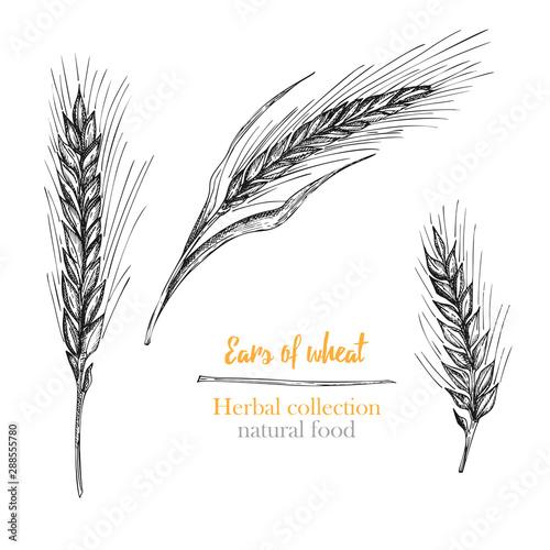 Set botany hand drawn sketch Ears of wheat isolated on white background Obraz na płótnie