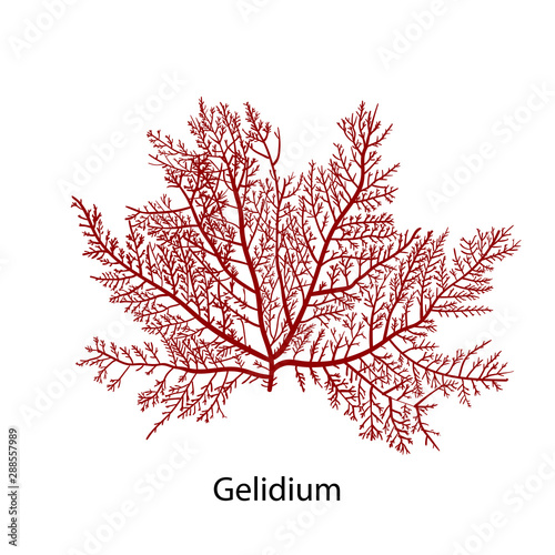 Photo Gelidium or Chaetangium - a genus of thalloid red algae, often used to make agar