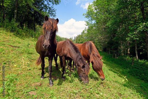 Poster Horses Islandpferde - Icelandic horses
