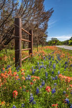 Mixed Wildfowers Of Blue Bonnets And Paint Brushes Along Roadside