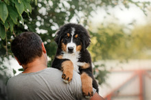 Bernese Mountain Dog Puppy Cute Portrait Playing On The Lawn