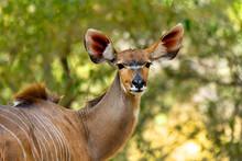 Antelope Female Kudu, Bwabwata, Namibia Africa