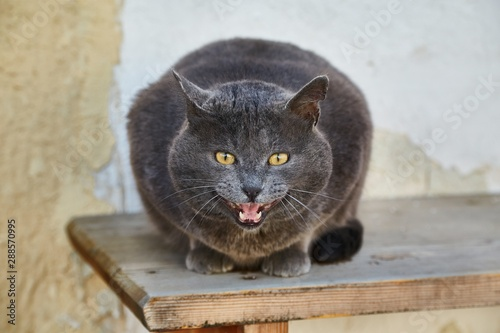 Fotografie, Tablou  Cat hissing on a bench