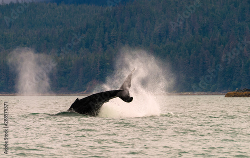Poster Rhino A humpback whale lifting its tail out of the water while spray from another whale's blowhole can also be seen. Image taken near Juneau, Alaska.