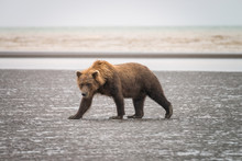Adult Grizzly Walking On The B...