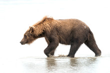 High Key Image Of A Grizzly Bear Walking Through The Water In The Rain.  Image Taken In Lake Clark National Park And Preserve, Alaska.