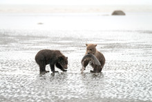Two Grizzly Bear Cubs Playing On The Beach With A Dogfish.  Image Taken In Lake Clark National Park And Preserve, Alaska.