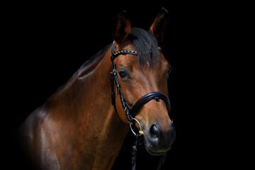 Edles Pferd vor schwarzem Hintergrund