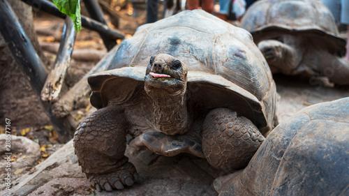 Fotobehang Zanzibar head of giant turtle on zanzibar