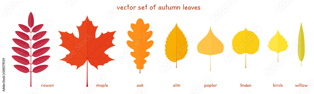 Fototapeta Vector set of autumn leaves. Fine elements of a various trees with realistic margins. Rowan, maple, oak, elm, poplar, birch, American linden and willow leaves. Palette of red, orange and yellow colors