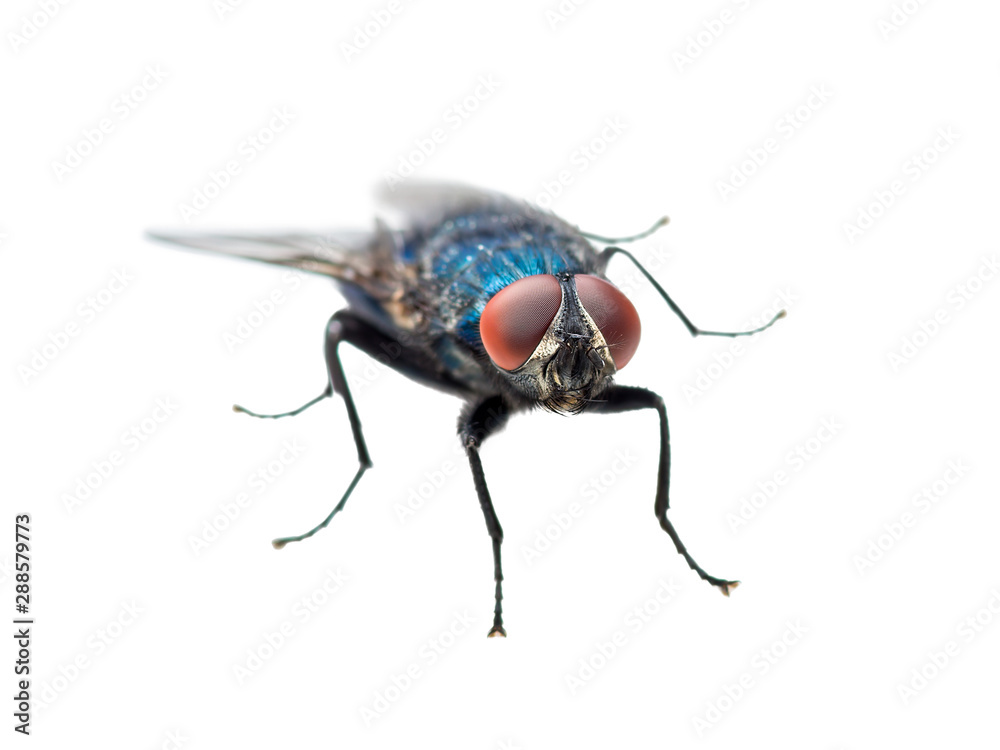 Fototapety, obrazy: Exotic Blue Diptera Meat Fly Insect Isolated on White Background