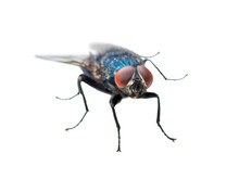 Exotic Blue Diptera Meat Fly Insect Isolated On White Background