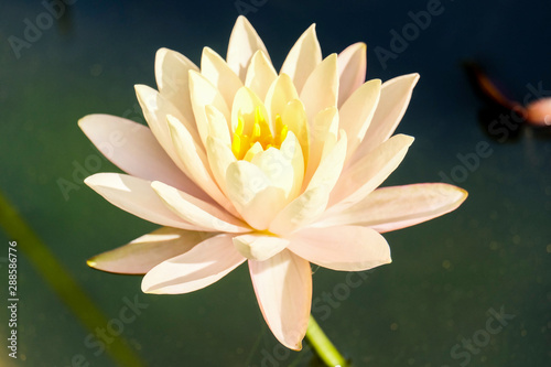 Wall Murals Water lilies Lotus flower with bookeh background