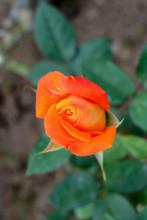 Close Up Orange Rosebud
