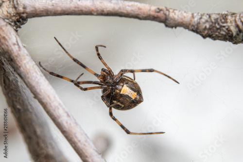 Macro photo of Brown Widow Spider Canvas Print