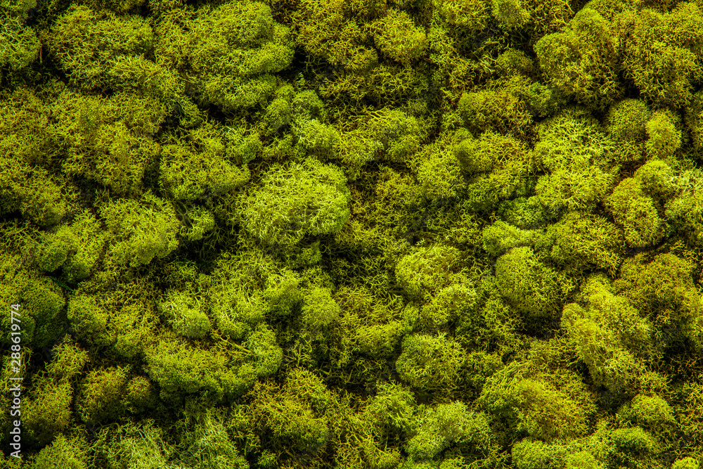 Fototapety, obrazy: preserved natural moss