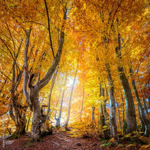 Photo sur Aluminium Automne Autumn in wild forest - vibrant leaves on trees