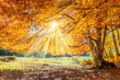 canvas print picture - Autumn landscape - big forest golden tree with sunlight on sunny meadow