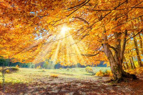 Poster Natuur Autumn landscape - big forest golden tree with sunlight on sunny meadow