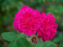 Close Up Deep Pink Damask Rose Flower (Rosa Damascena) With Blur Background.