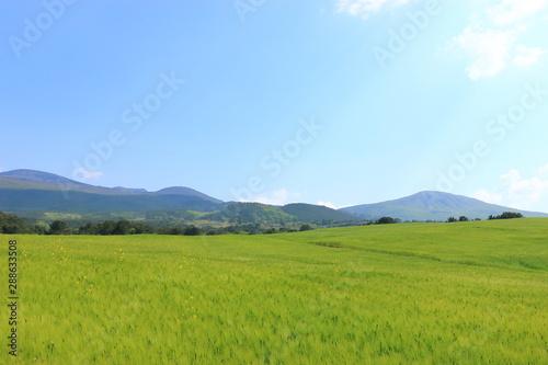 제주에 있는 청보리 밭의 풍경이다. Wallpaper Mural
