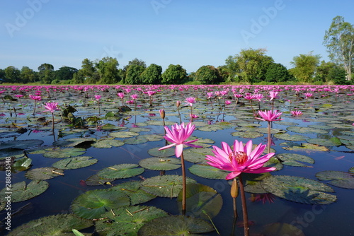 La pose en embrasure Nénuphars pink water lily in pond