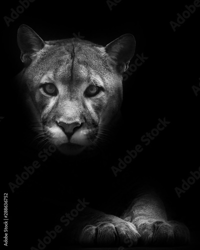 Recess Fitting Puma Muzzle and paws isolated in darkness. Cougar beautifully lies on a dark background, a powerful predatory big cat