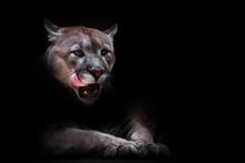 A Female Cougar (puma) Peeps Out Of The Darkness And Greedily Predatoryly Licks Its Face With Its Red Tongue, Dreaming Of Devouring Prey. Symbol Of Female Sexuality, Dark Background.